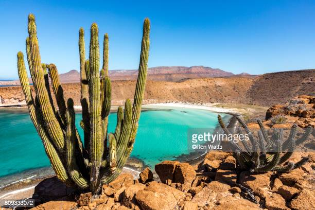 cardon cactus - sea of cortez stock pictures, royalty-free photos & images