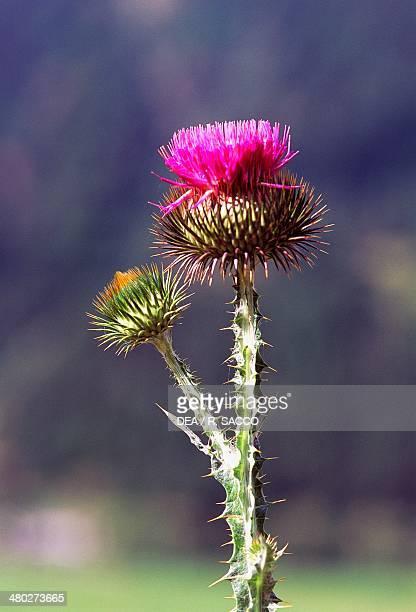 Cardoon or artichoke thistle Asteraceae