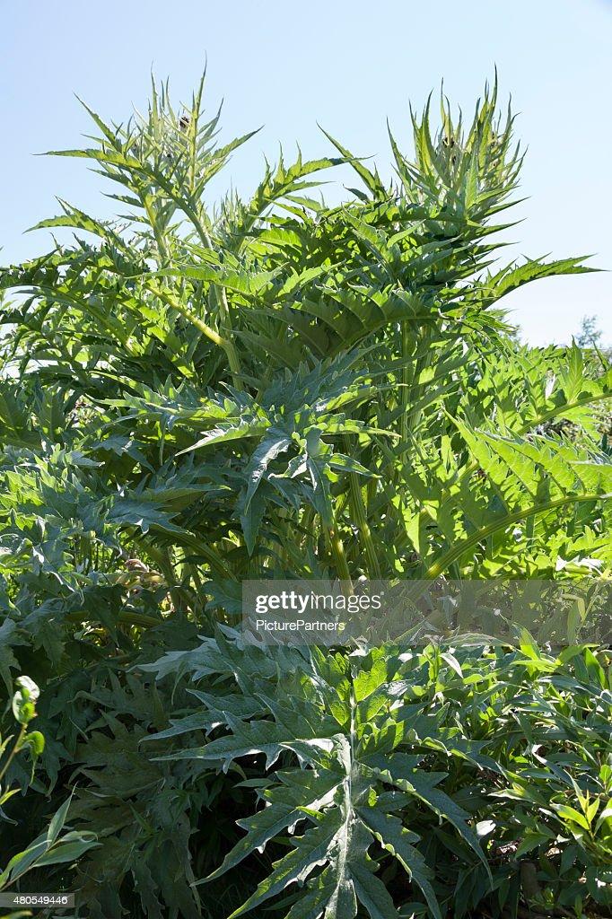 Cardo de castilla planta : Foto de stock