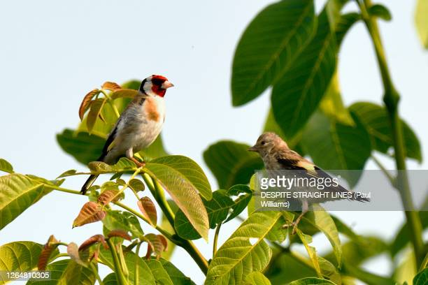 carduelis carduelis (male european goldfinch and one of it's young) - kent england stock pictures, royalty-free photos & images