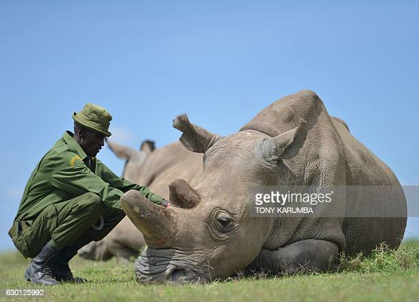 Care giver Peter crouches next to Najin the older of only two remaining female northern white rhinoceros subspecies on December 5 at the Ol Pejeta...
