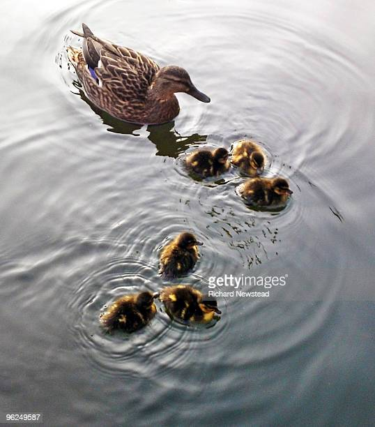care - duckling stock pictures, royalty-free photos & images