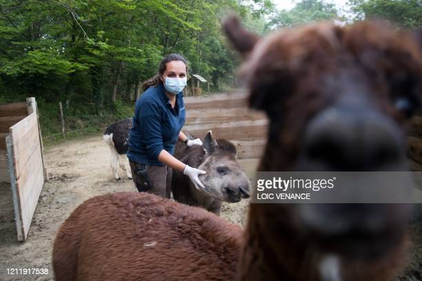 A care worker wearing protective gloves and mask takes care of an alpaca at the zoologic park Planete Sauvage in SaintPereenRetz outside Nantes on...