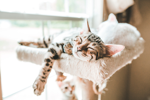 Carefree Kitten, Sleeping Kitten, Bengal Kitten Sleeping - gettyimageskorea