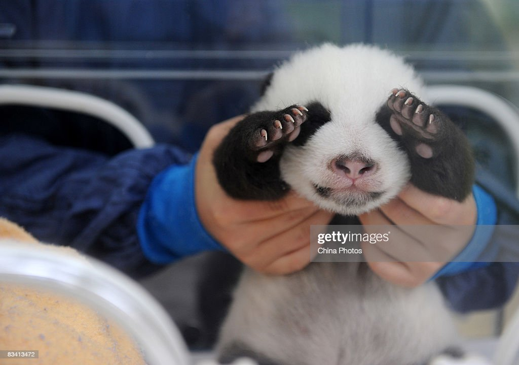 A carer looks after a Giant panda cub in an incubator, one of the first twins delivered here this year, at the Bifengxia base of China Giant Panda Protection and Research Center on October 24, 2008 in Yaan of Sichuan Province, China. Following the traditional Chinese custom, the centre held a naming ceremony for the twin cubs 100 days after their birth. Thirteen giant pandas have been born this year at the base.