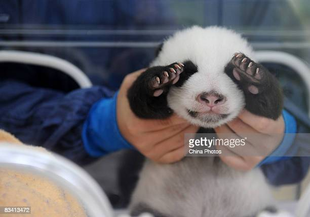 Carer looks after a Giant panda cub in an incubator, one of the first twins delivered here this year, at the Bifengxia base of China Giant Panda...