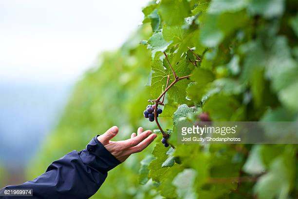 caressing the grapes - pinot noir grape stock photos and pictures