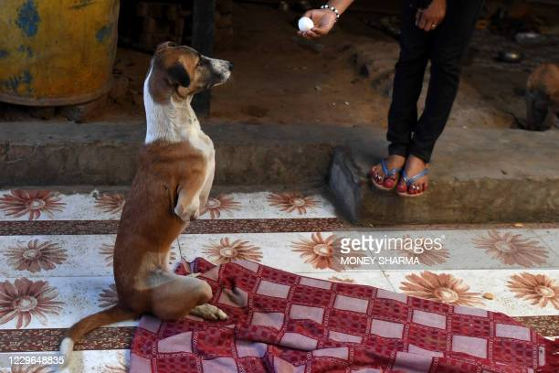 Caretaker feeds Rocky, a female dog who lost her front legs in an accident, at the People For Animals Trust in Faridabad on November 17, 2020. - An...