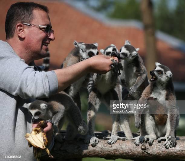 Caretaker feeds the new-born ring-tailed lemurs including new-born one, at the Bursa Zoo, in Bursa, Turkey on May 03, 2019.