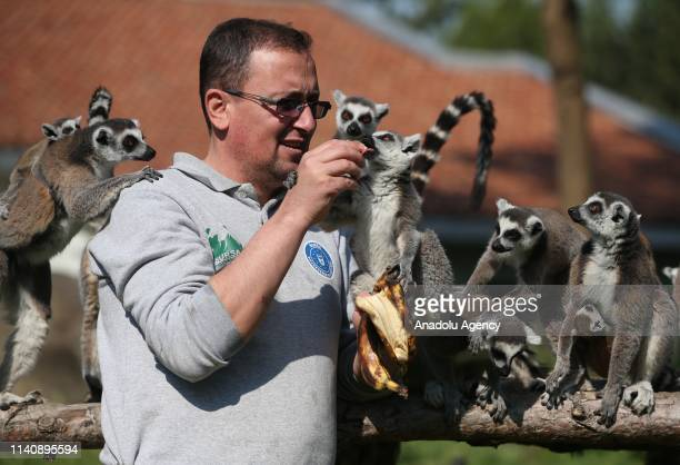 Caretaker feeds the new-born ring-tailed lemurs including new-born one, at the Bursa Zoo, in Bursa, Turkey on May 03, 2019.