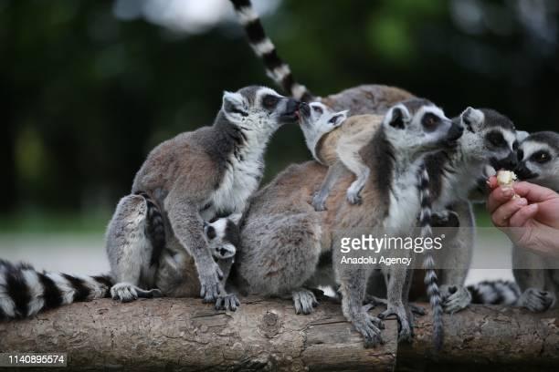 Caretaker feeds the ring-tailed lemurs including new-born one, at the Bursa Zoo, in Bursa, Turkey on May 03, 2019.