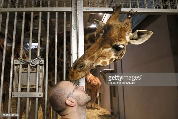 A caretaker looks at giraffes in a cage during a behindthescenes visit of the Vincennes zoo in Paris on February 4 as part of the Paris Face Cache...