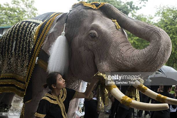A caretaker looks at her elephant at the Ministry of Defense before a parade to honour King Bhumibol Adulyadej on November 8 2016 in Bangkok Thailand...