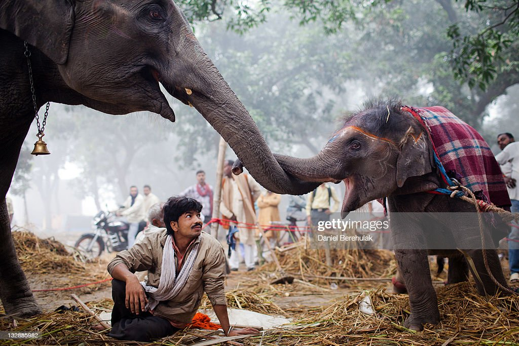 A caretaker looks on as 7 year old elephant Laxmi rubs trunks with her daughter 13 month old Rani during the Sonepur Mela on November 15, 2011 in Sonepur near Patna, India. The cattle fair, held in the Indian state of Bihar, has its origins during ancient times, when people traded elephants and horses across the auspicious river Ganges. The mela used to attract traders from places as distant as Central Asia. It is one of Asia's largest cattle fairs and lasts for a fortnight.