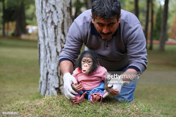A caretaker of Gaziantep Zoo Nedim Aslan takes care of the newborn baby chimpanzee named 'Can' as its mom refused to have him at Gaziantep Zoo in...
