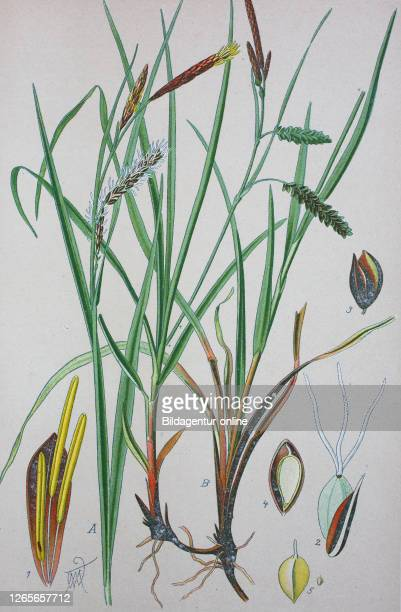 Carex flacca, with common names blue sedge, gray carex, glaucous sedge, or carnation-grass, syn. Carex glauca, is a species of sedge native to parts...