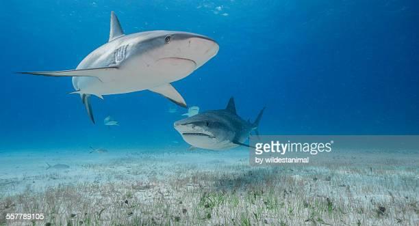 caribbean and tiger - requin tigre photos et images de collection