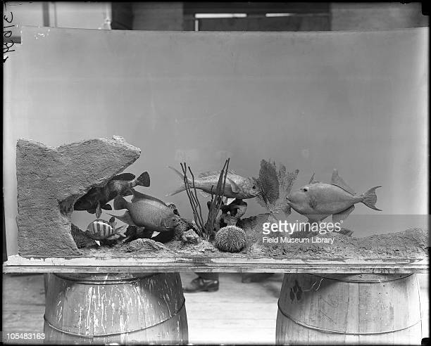 Caribbean Coral Reef Tropical American Fishes models for diorama before installation sitting on two wooden barrels Field Columbian Museum Includes...