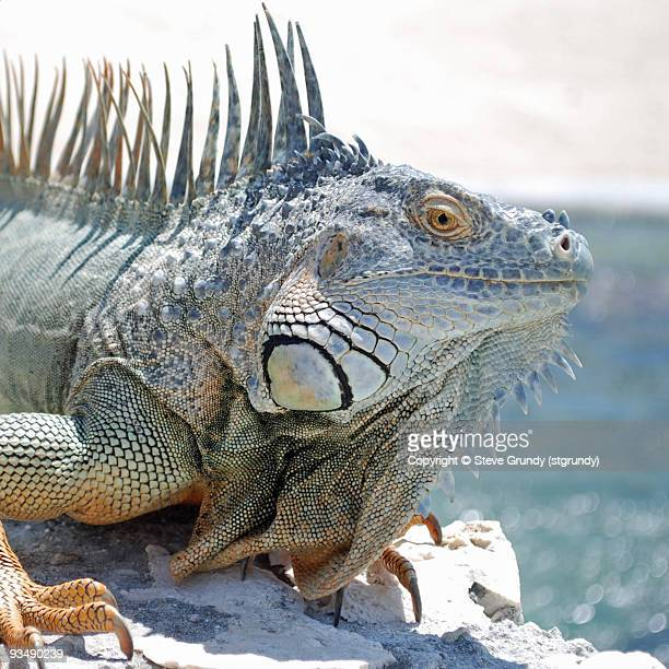 caribbean dinosaur - iguana family stock photos and pictures
