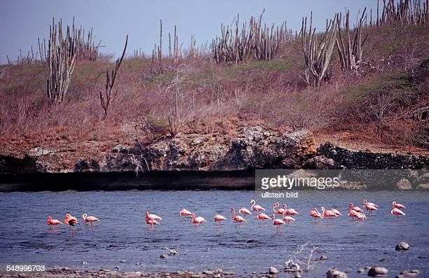Caribbean flamingo Phoenicopterus ruber ruber Netherlands Antilles Bonaire Washington Slagbaai National Park Salina Slagbaai