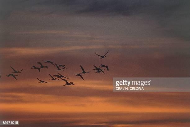 Caribbean Flamingos in flight against sky at sunset