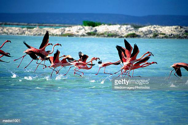 Caribbean Flamingos preparing to take off in flight at Bonaire, Netherlands Antilles