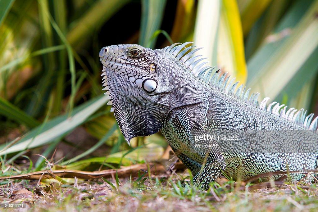 Caribbean, Guadeloupe, Grande-Terre, Green Iguana, Iguana iguana : Stock Photo