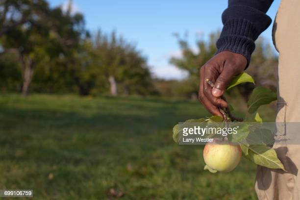 Caribbean man holding apple from stem in apple orchard, late autumn