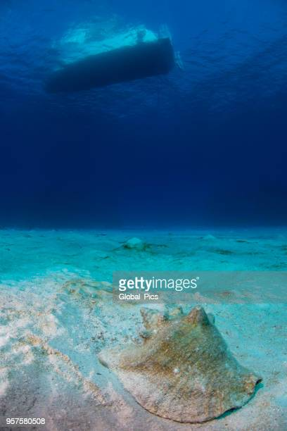 caribbean marine life - conch shell stock pictures, royalty-free photos & images