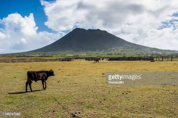 caribbean, netherland antilles, st. eustatius, cow grazing before the quill hill - シント・ユースタティウス島 ストックフォトと画像