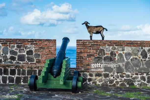 caribbean, netherland antilles, st. eustatius, statia, fort oranje, goats walking above old cannons - シント・ユースタティウス島 ストックフォトと画像