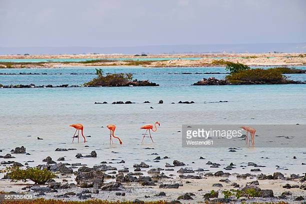 Caribbean, Netherlands Antilles, Bonaire, Flamingos in water