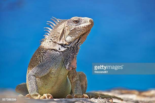 caribbean, netherlands antilles, bonaire, iguana - iguana fotografías e imágenes de stock