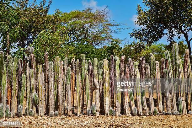 caribbean, netherlands antilles, bonaire, row of column cacti - caribisch nederland stockfoto's en -beelden