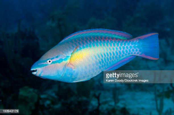 Caribbean Princess Parrotfish.