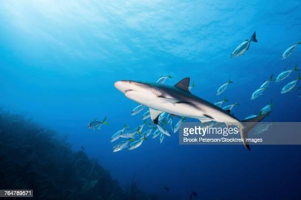 A Caribbean reef shark and a school of fish, Grand Cayman, Cayman Islands.