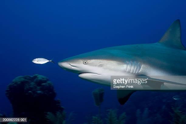 Caribbean reef shark (Carcharhinus perezi) and Bar jacks (Caranx ruber)