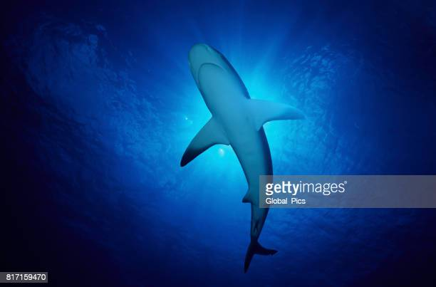 caribbean reef shark (carcharhinus perezii), bahamas - sharks stock photos and pictures