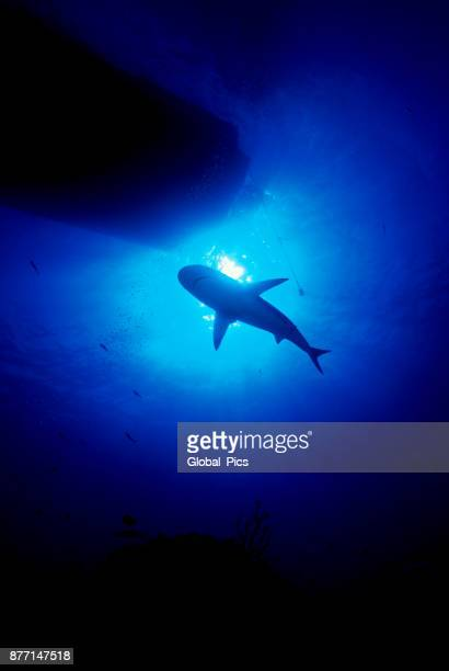 Caribbean reef shark (Carcharhinus perezii), Bahamas