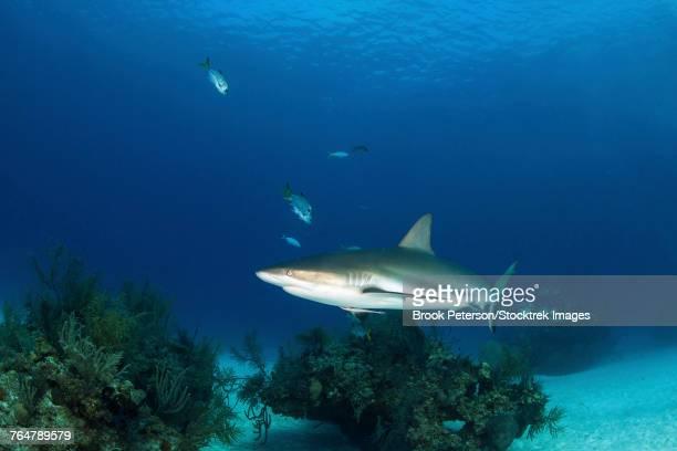 Caribbean reef shark, Grand Bahama, Bahamas.