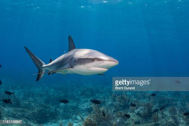 caribbean reef shark in bahamas - reef shark stock pictures, royalty-free photos & images