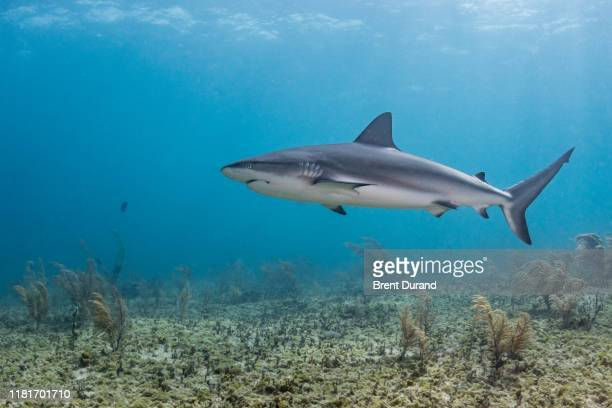 caribbean reef shark in the bahamas - reef shark stock pictures, royalty-free photos & images