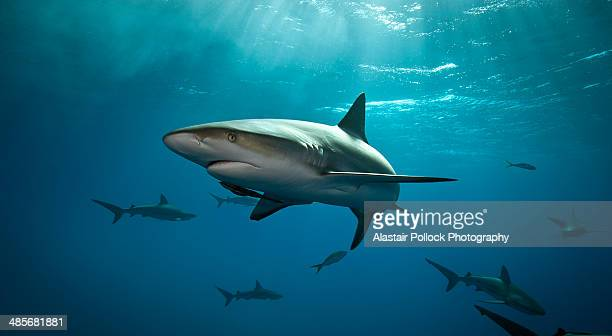 Caribbean Reef Shark in the Bahamas