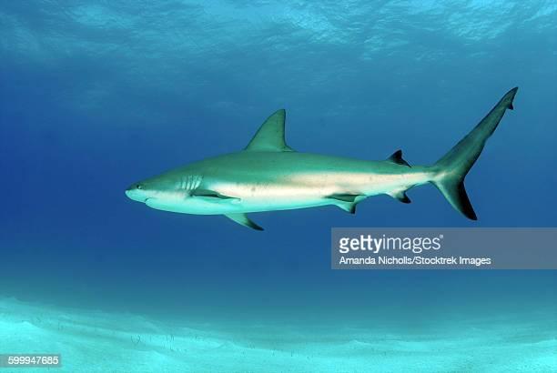 Caribbean reef shark, Nassau, The Bahamas.