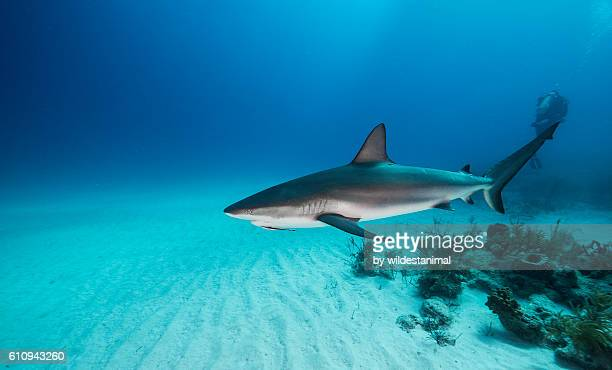 Caribbean Reef Shark Near The Bottom
