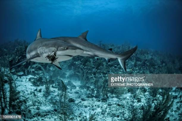 caribbean reef shark - big bottom stock pictures, royalty-free photos & images