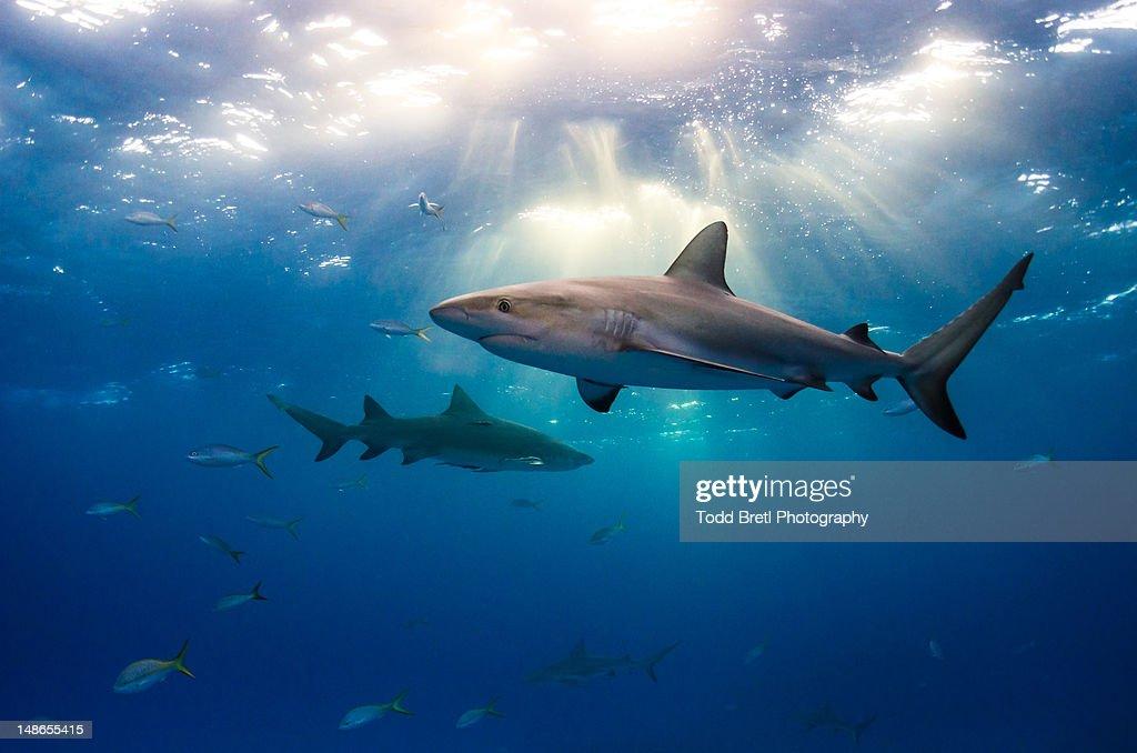 Caribbean reef sharks and sun rays : Stock Photo