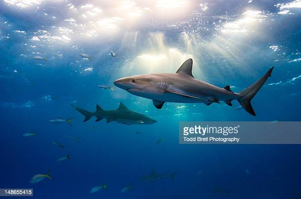 caribbean reef sharks and sun rays - sharks stock pictures, royalty-free photos & images