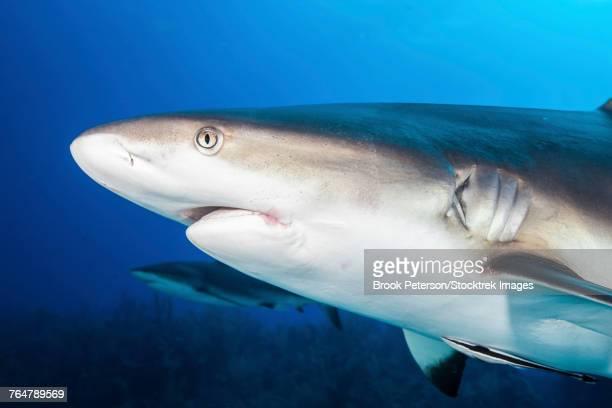 Caribbean reef sharks, Grand Cayman, Cayman Islands.