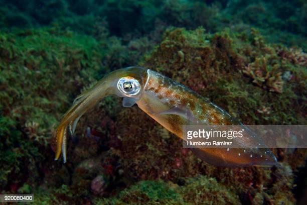 caribbean reef squid. - lula - fotografias e filmes do acervo